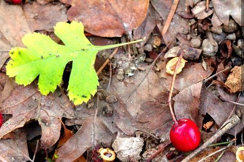 fallen hawthorn berry and hawthorn leaf    MG 0072