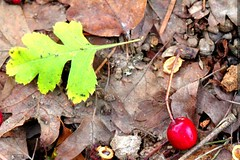 fallen hawthorn berry and hawthorn leaf    MG 0072