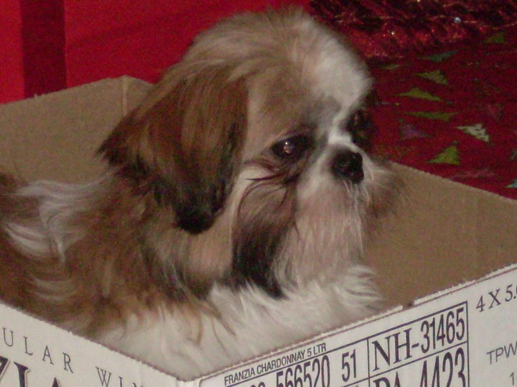 Pip, Shih Tzu dog