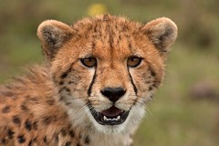 animal, cheetah, small to medium-sized cats, snout, fauna, close-up, carnivoran, whiskers, safari, wildlife,
