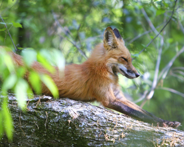 Fox - Animal ID