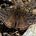 Propertius Duskywing - Photo (c) NatureShutterbug, all rights reserved