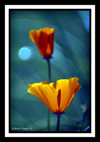 flowers orange colorful bokeh poppies wonderfulworldofflowers