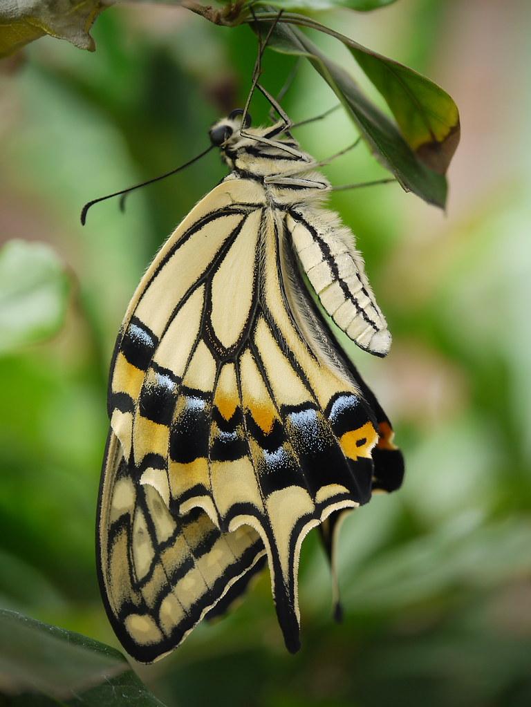 Swallowtail butterfly by leopard gecko