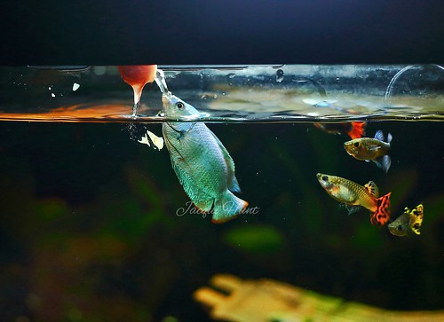 Dwarf Gourami Squirting for food