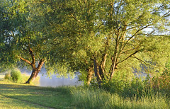 Willow trees, Purley-on-Thames, Berkshire, England