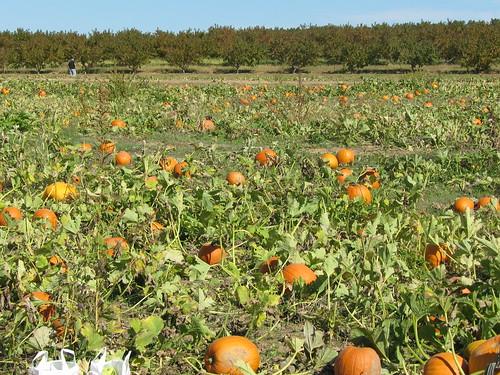 pumpkin illinois farm belleville eckerts applepicking patch