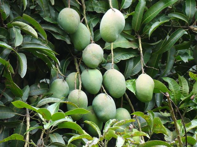 information about mango tree in marathi Contextual translation of marathi information on mango tree into hindi human translations with examples: mango.