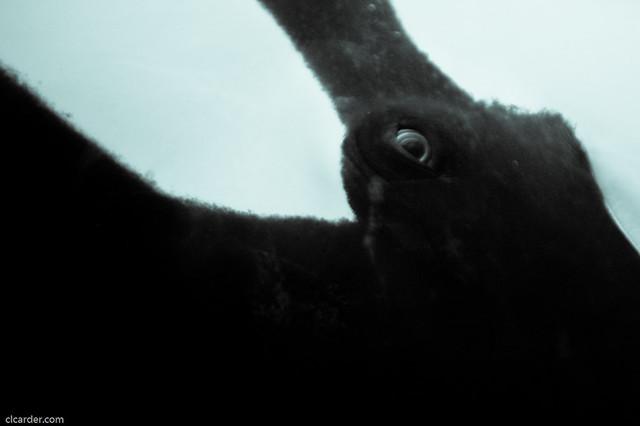 Orca's eye   Explore clcarder's photos on Flickr. clcarder ...