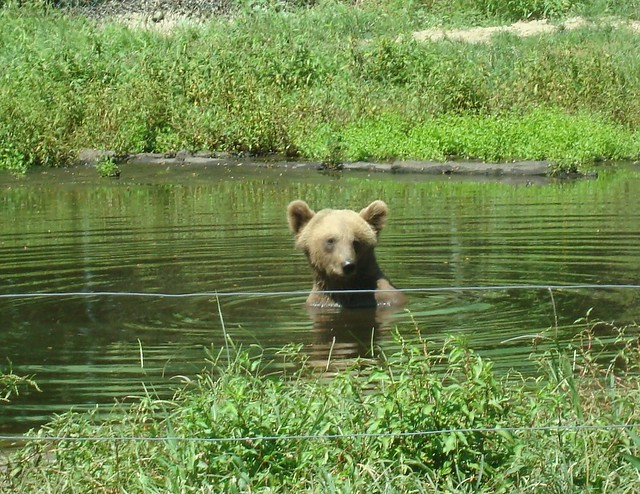 Bear Playing in Pond