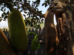 cat with the jack fruit