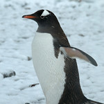 Gentoo Penguin: Brisk Walk in the Snow in Antarctica