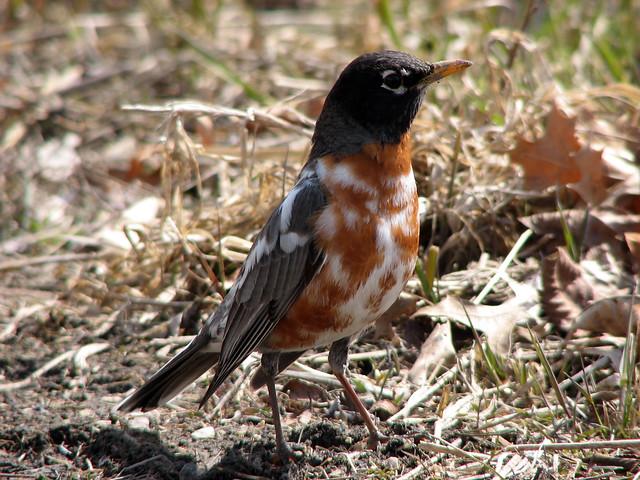 Leucistic Robin 2/3