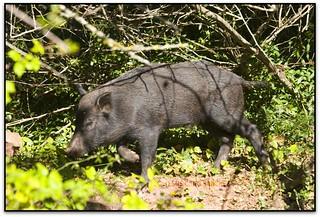 Porc senglar al bosc, Montmany