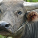 Blue-eyed Asian water buffalo