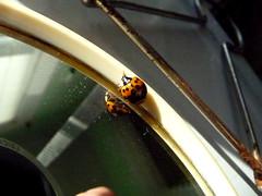 LadybugonMirror