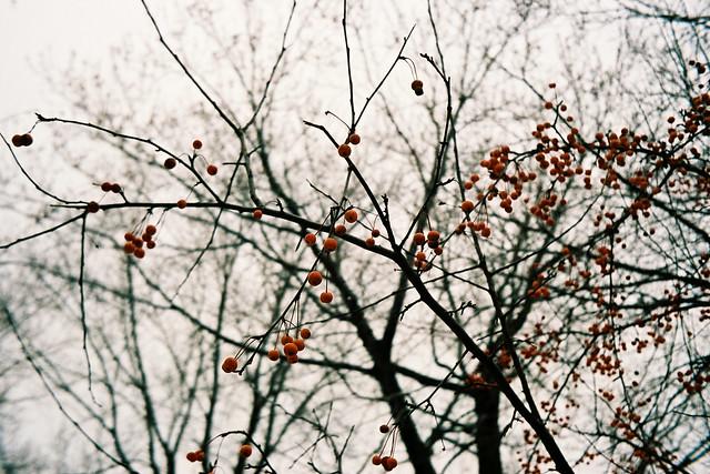 Des branches et des petits fruits