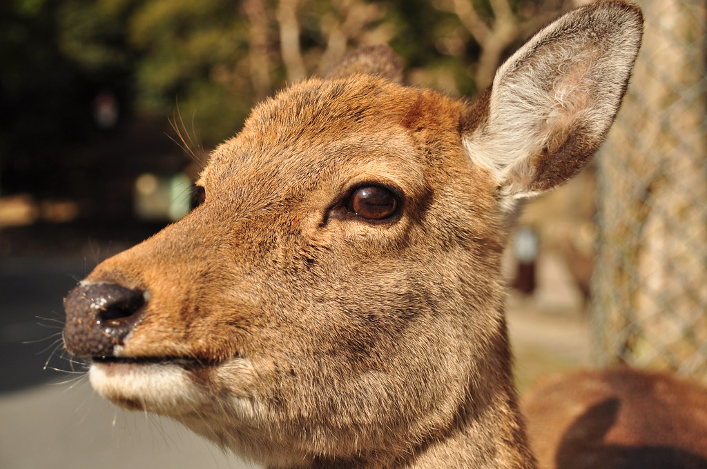Deer in the park in Nara