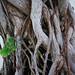 root system by hirahiraskirt