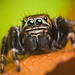 Jumping spider - Evarcha arcuata (Set of pictures) by Lukjonis