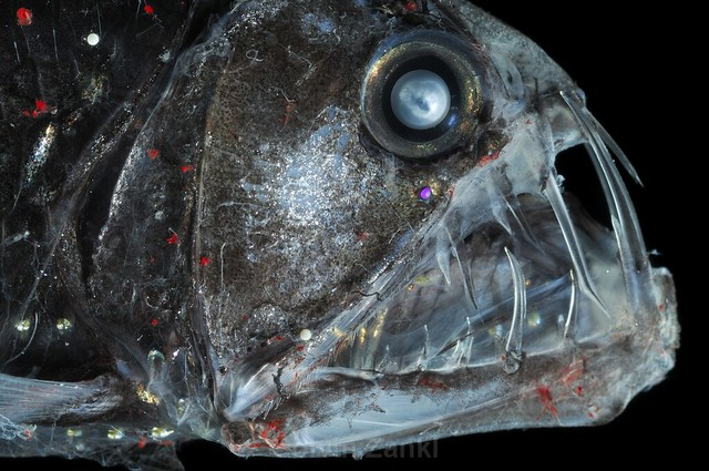 Deep Sea Viperfish Chauliodus sloani