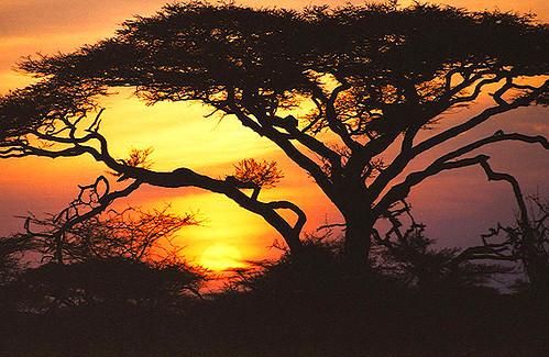 sunset tanzania serengeti acacia ndutu mywinners umbrellathorn acaciatortilis