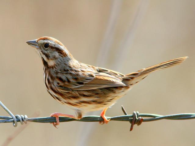 Song Sparrow 3-20100314