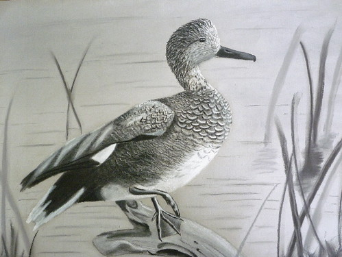 Gadwall Duck- Original Drawing by Jamies Art | Flickr - Photo Sharing!