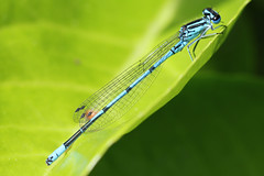 yellow(0.0), leafhopper(0.0), plant stem(0.0), arthropod(1.0), animal(1.0), damselfly(1.0), dragonfly(1.0), dragonflies and damseflies(1.0), leaf(1.0), wing(1.0), invertebrate(1.0), macro photography(1.0), green(1.0), fauna(1.0), close-up(1.0), net winged insects(1.0),