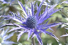 ERYNGIUM 'Dove Cottage Hybrid'