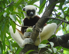 gibbon(0.0), sloth(0.0), three toed sloth(0.0), squirrel monkey(0.0), capuchin monkey(0.0), white-headed capuchin(0.0), indri(1.0), animal(1.0), monkey(1.0), mammal(1.0), fauna(1.0), lemur(1.0), new world monkey(1.0), wildlife(1.0),
