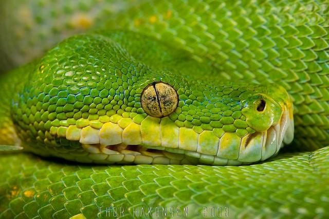 Morelia viridis - Green Tree Python