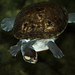 Small photo of Turtle Afloat
