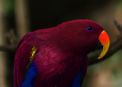 animal, lovebird, macaw, parrot, wing, red, pet, fauna, close-up, lorikeet, beak, bird,