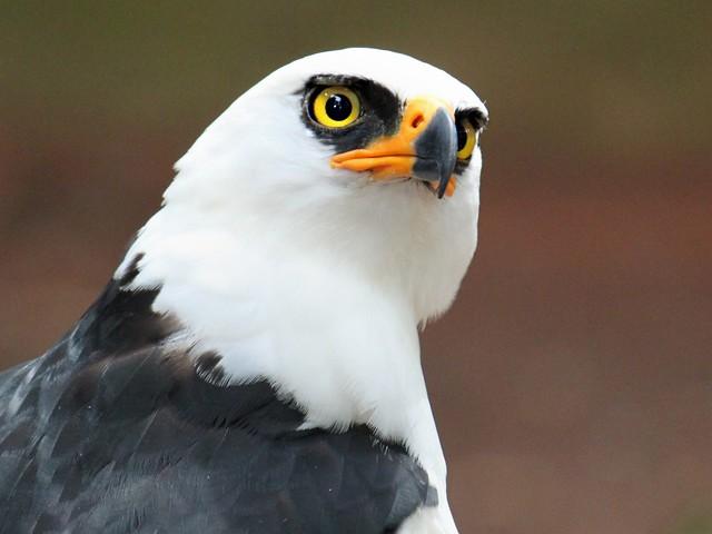 Falconiformes. Família  Acciptridae - Subfamília Buteonidade- Gaviões de penacho. genêro SPIZAETUS 4448542320_ce4c20e772_z