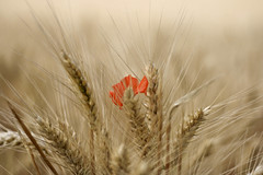 emmer, hordeum, prairie, agriculture, triticale, einkorn wheat, rye, food grain, barley, wheat, plant, close-up, cereal, plant stem,