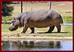 Hippopotamus at Dubbo Zoo-1&