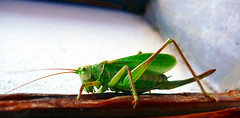 arthropod, animal, cricket-like insect, invertebrate, insect, macro photography, grasshopper, green, fauna, close-up,