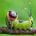 Moth Caterpillar - Cerura vinula by Lukjonis
