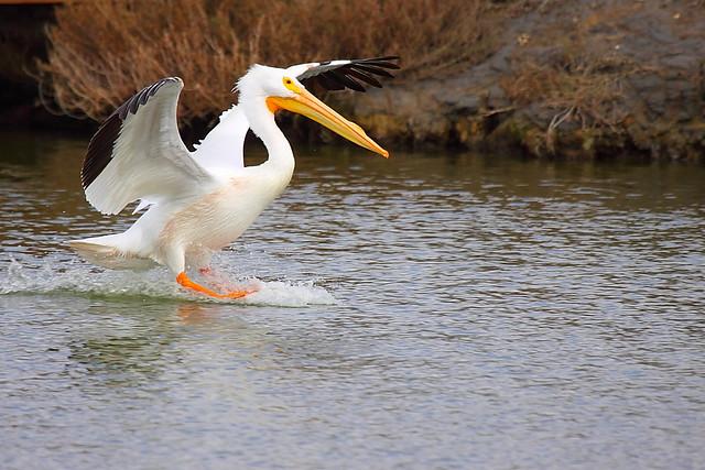 IMG_6747 American White Pelican Landing