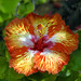 Sunrise Hybiscus by PhotoAnkrum.com