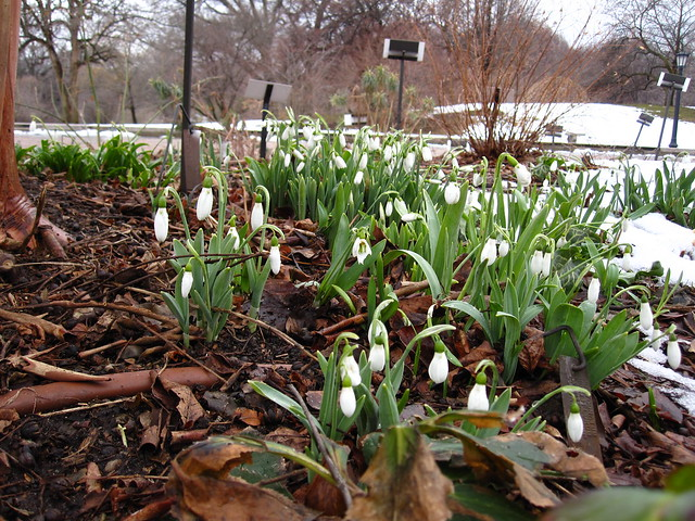 One of the earliest spring bloomers, Snow Drops. Photo by Rebecca Bullene.