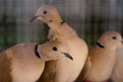A Trio of Doves