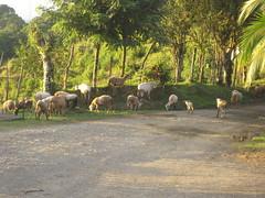 Wandering goats