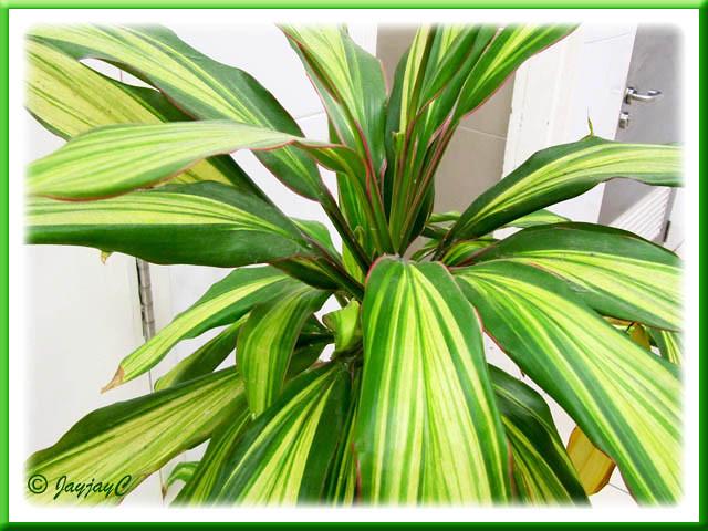 indoor potted ti plant inside tesco store flickr photo. Black Bedroom Furniture Sets. Home Design Ideas