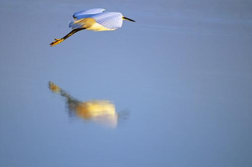 reflection bird gulfofmexico water animal sunrise outdoors fly inflight colorful tampabay florida saintpetersburg egret avian snowyegret ftdesoto wadingbird naturewildlife michaelskelton michaeldskelton michaeldskeltonphotography