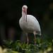 American White Ibis by Antonio Diaz Photography