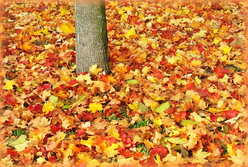 Autumn Carpet of Maple Leaves - Fall Colours, Germany