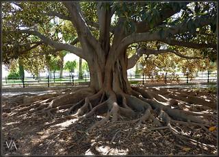 Large Moreton Bay Fig tree at Seville / Arbol centenario en Sevilla