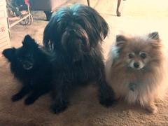 dog breed, animal, german spitz klein, dog, schnoodle, pet, german spitz, havanese, lhasa apso, morkie, german spitz mittel, affenpinscher, carnivoran, pomeranian,